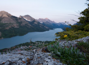 Waterton Lake alpine flower Bear's Hump JDerksen