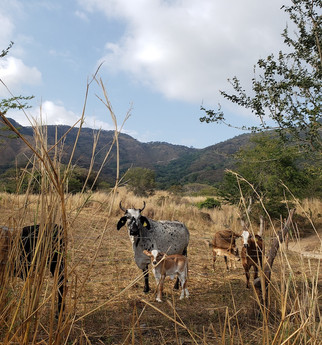 en el rancho donde se criaron my parents, en un pueblito afuerita de tuxpan, jalisco, méxico, early 2020.