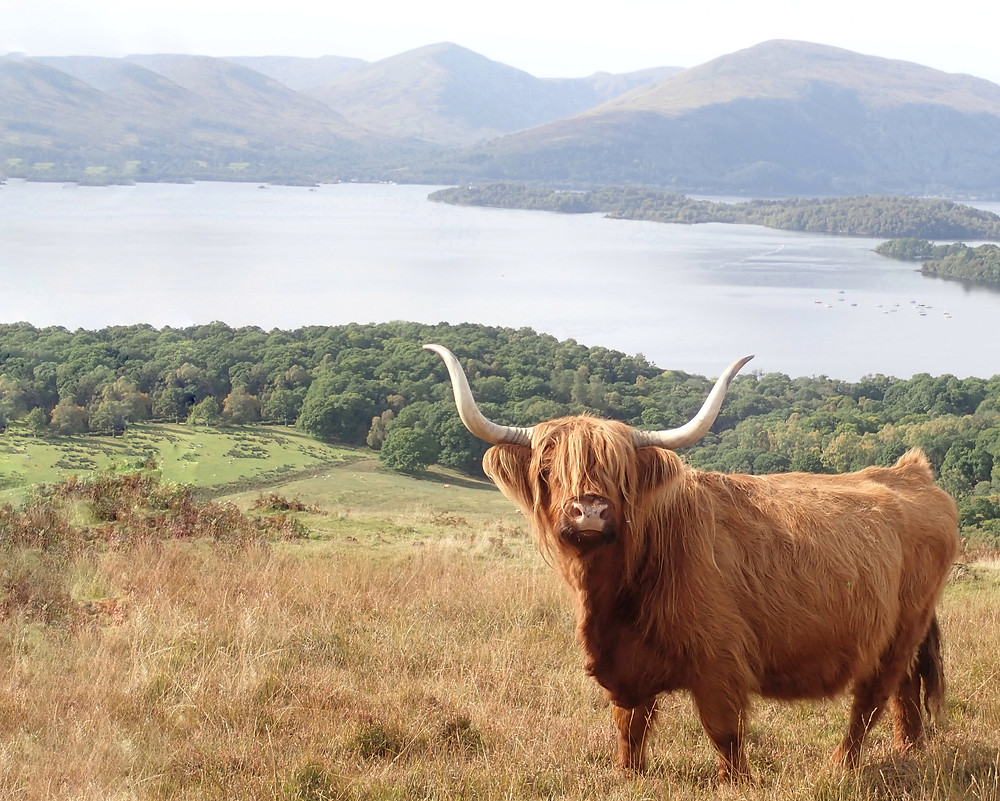 A highland coo stands on a hill in front of Loch Lomond. Impressive horns and a shaggy orange fringe. Hazy summery weather.