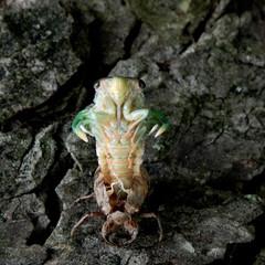 cicada 2015 (1).JPG