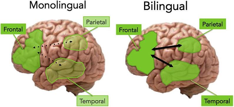 Делает ли нас умнее знание двух языков.jpg