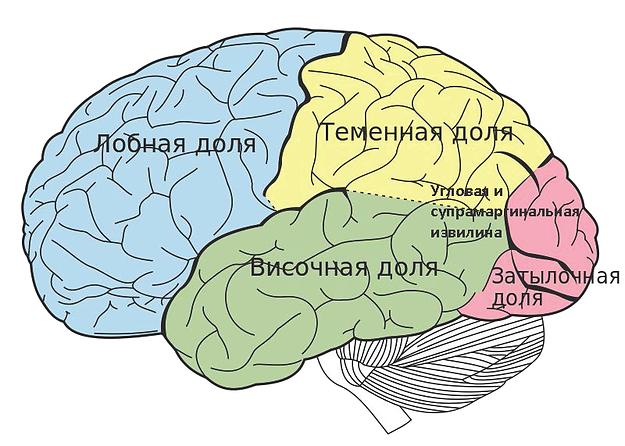 как мозг помогает Вам читать и почему это важно.jpg