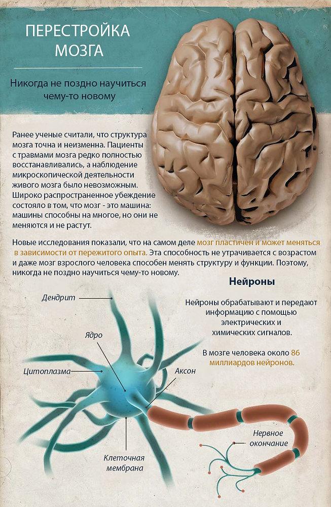 Нейропластичность инфографика.jpg