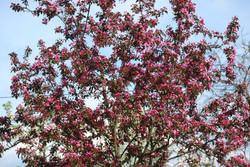 Zierapfelbaum entstanden aus einem Apfel