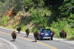 Büffel im Custer State Park