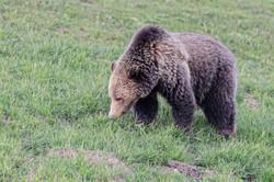 Grizzly im Yellowstone