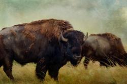 Badlands Bison #4 color
