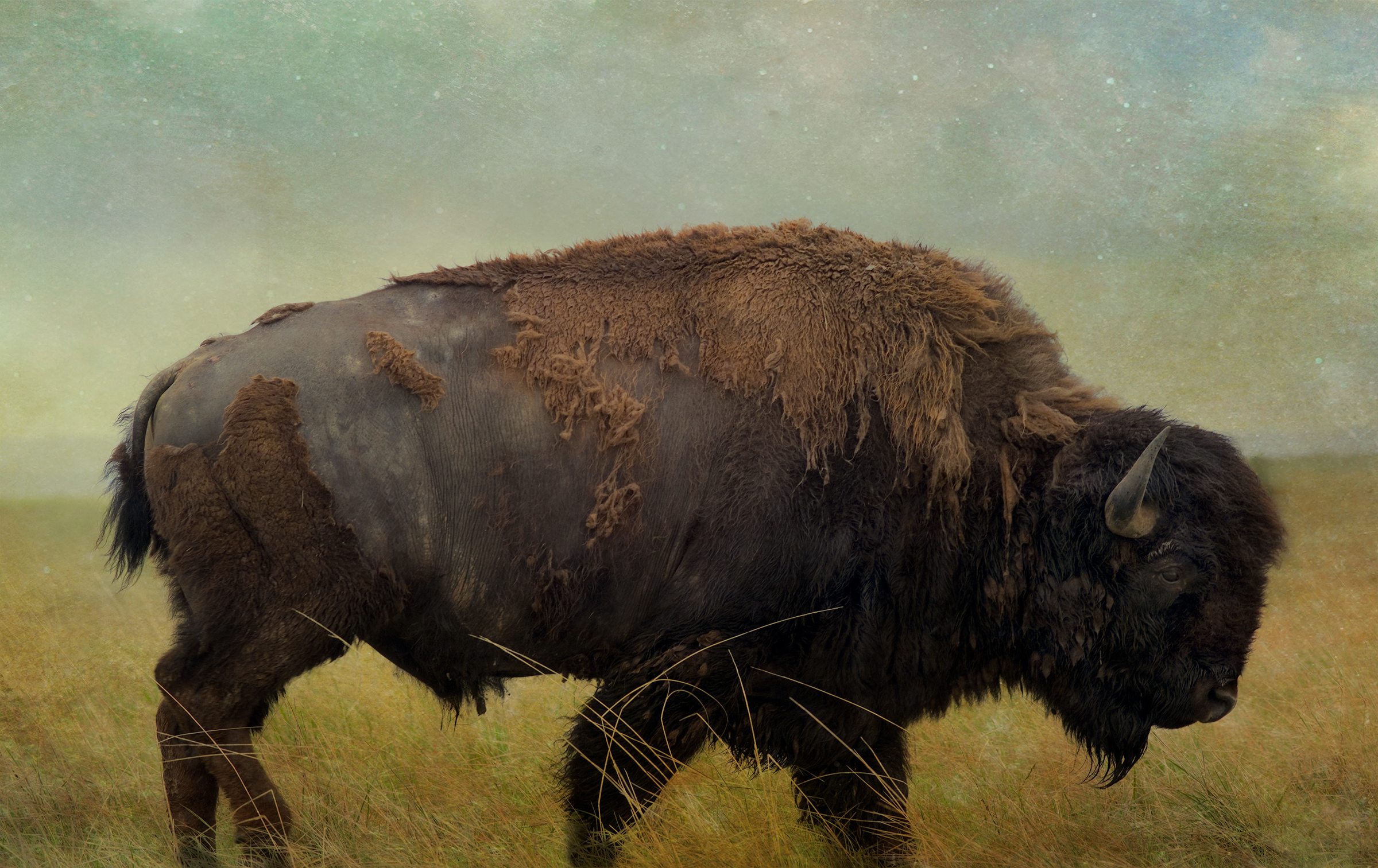 Badlands Bison #1 - Color