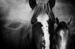 Two Badlands Horses 2011 #2