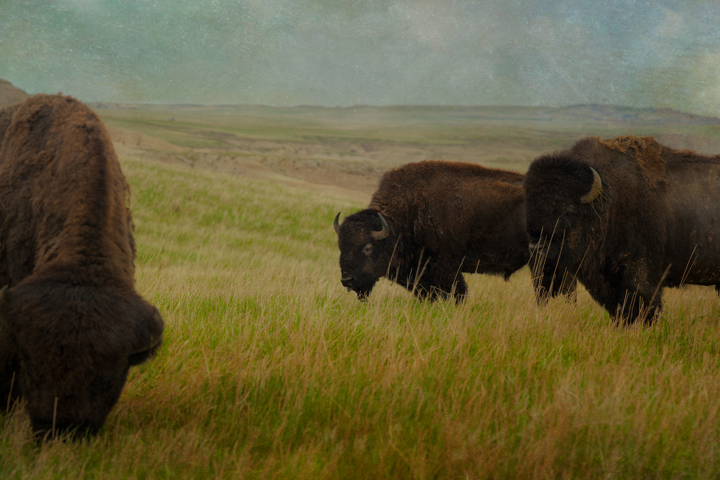 Badlands Bison #8