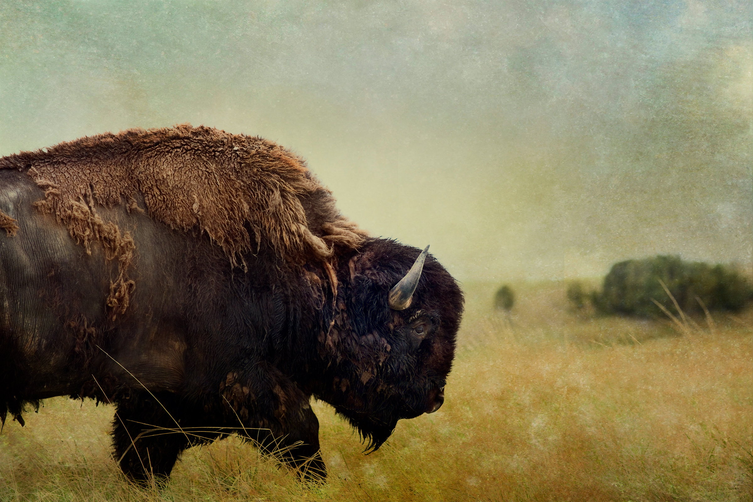 Badlands Bison #6 color