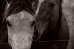 Two Badlands Horses 2011 #1