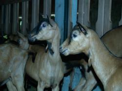 Female goat group (1)