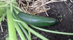 First courgette