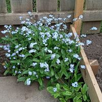 Forget-me-not corner