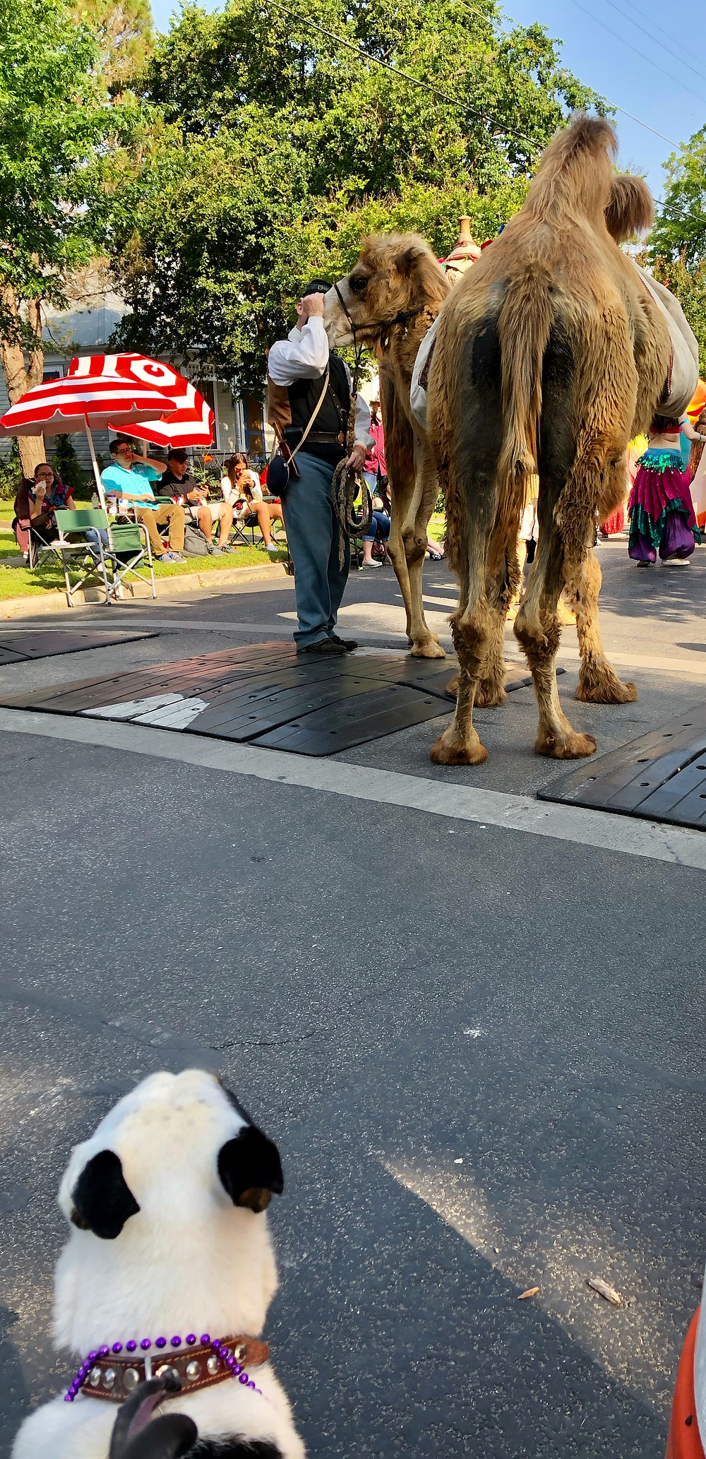 Our pup Micky stares at camels in the parade