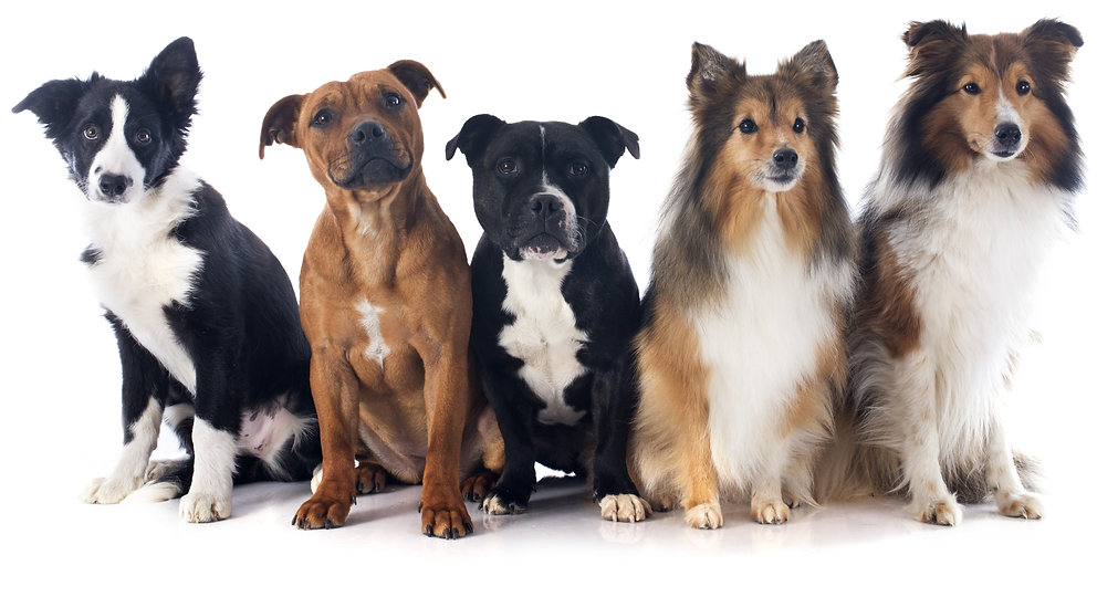 portrait of five purebred dogs in front