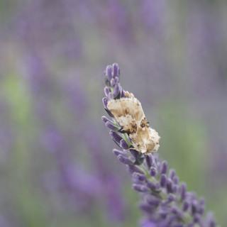 Adult White Female Gypsy Moth