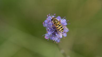 hoverfly at f8 jpeg.jpg