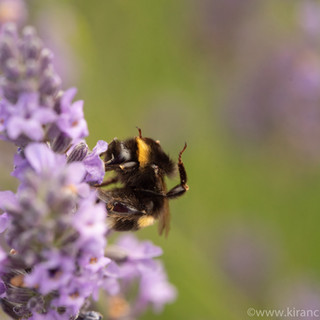 Bee on Lavender Macro