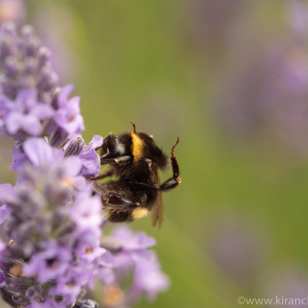 Bee on Lavender Macro