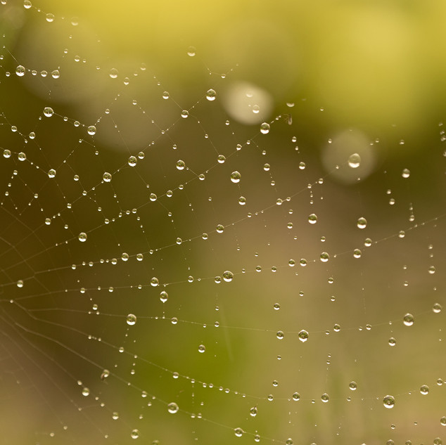 Water Droplets on a Spiders Web