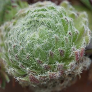 Alpine plant macro