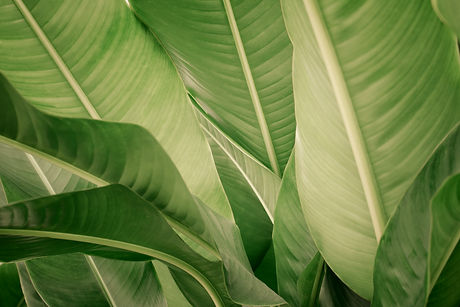 Banana Leaves_edited.jpg