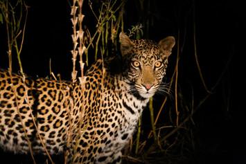 Leopard in Botswana