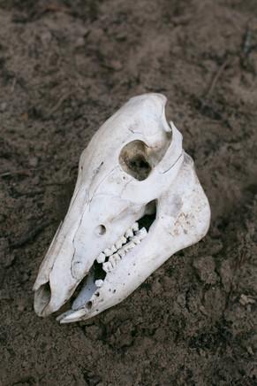 Wild Pig Skull