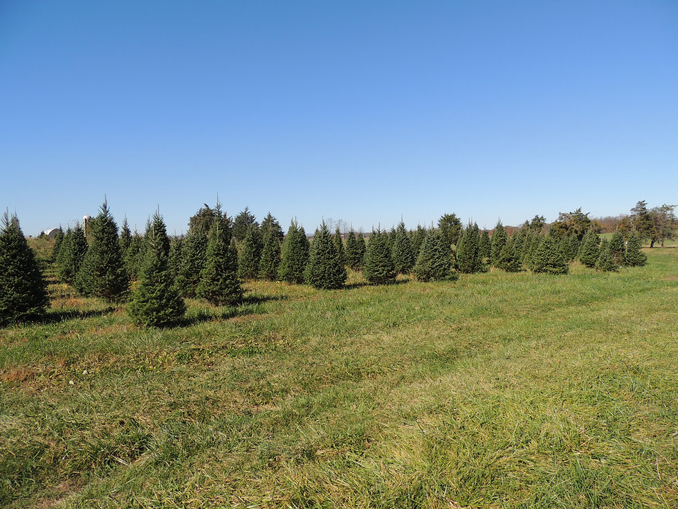 Otterdale View Christmas Tree Farm- A view of the tree field.