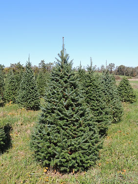 Canaan Fir Christmas tree at Otterdale View Farm