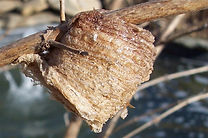 praying_mantis_nest.jpg