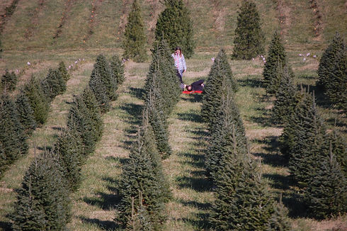 Cutting a tree at Otterdale View Christmas Tree Farm.