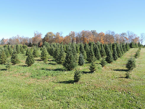 A view of Canaan Fir tree field at Otterdale View Farm.