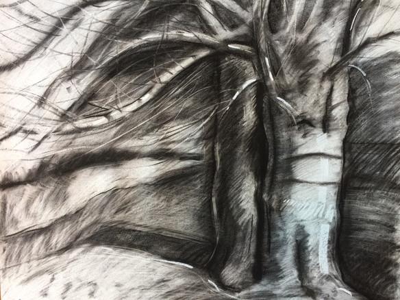 Ancient Sauvie Ash Tree