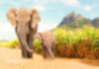 African Bush Elephants - Loxodonta afric