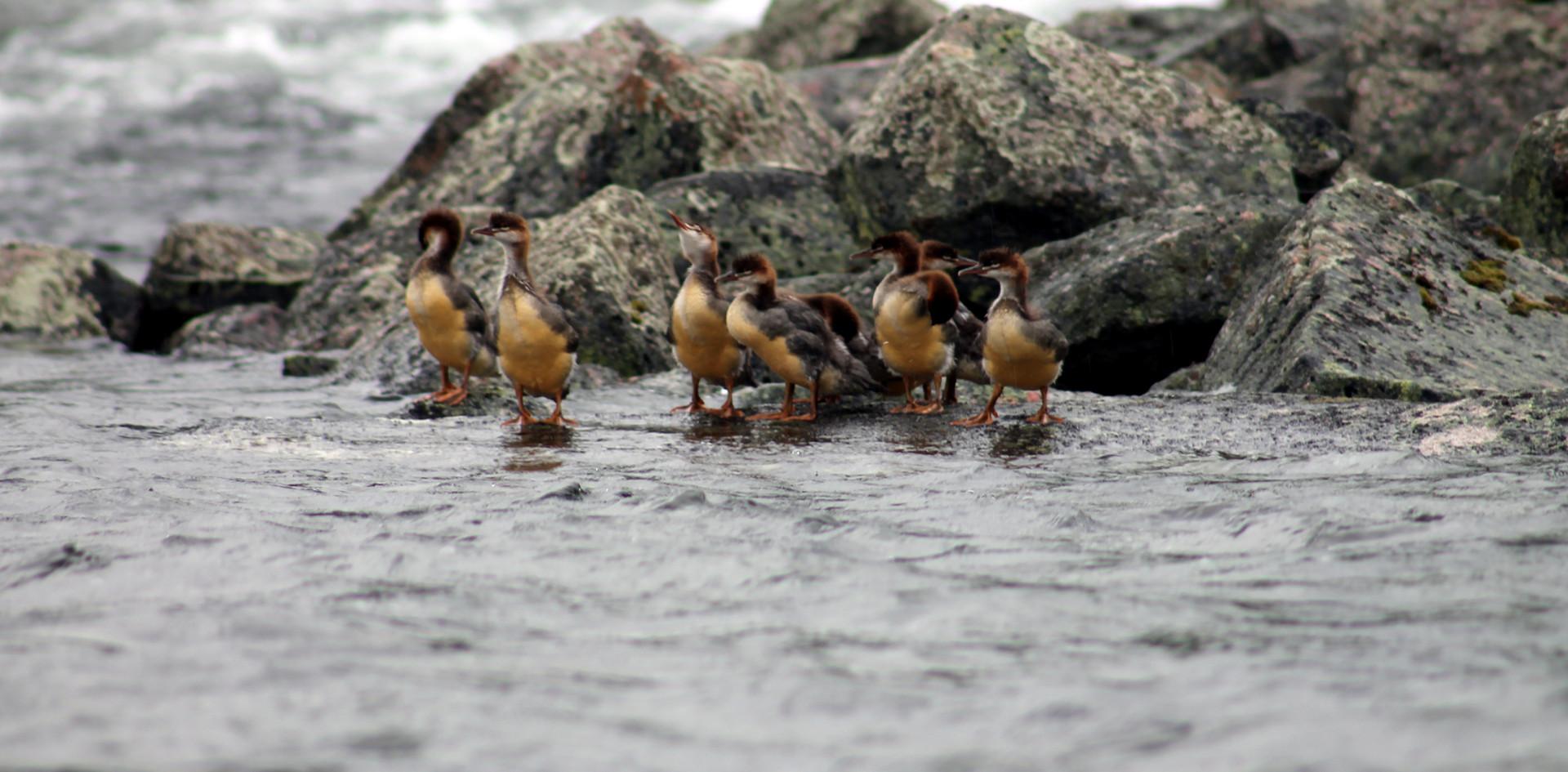 Pretty Ducklings