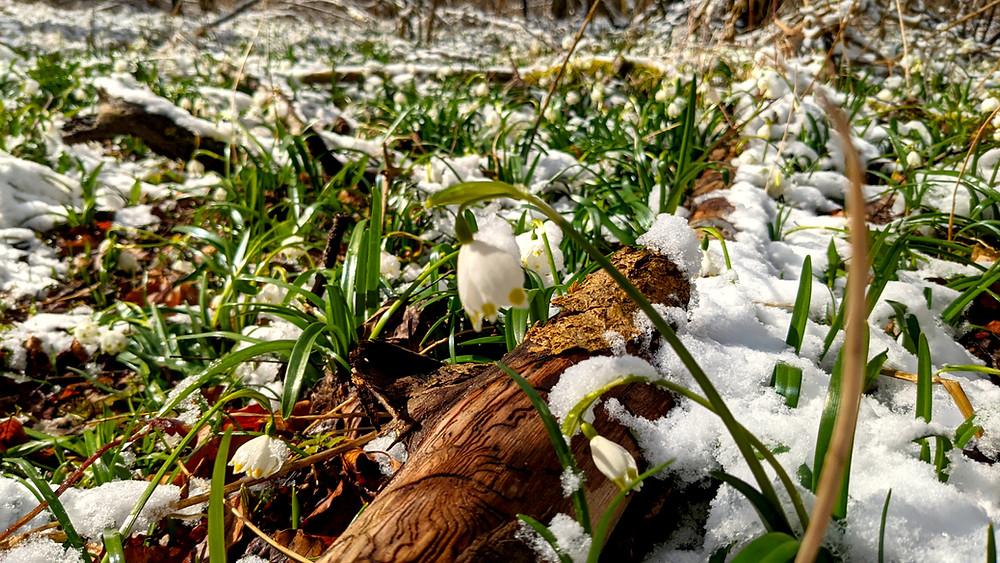 Die ersten Märzenbecher blühen im Schnee am Rand des Wanderweges