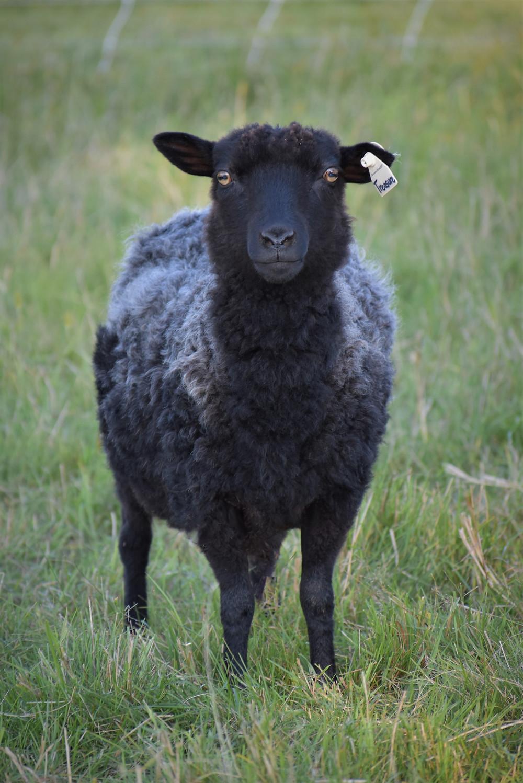 Wheely Wooly Farm Shetland Ewe Miss Treasure