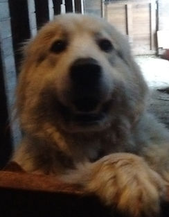 Izzy, Wheely Wooly Farm's Great Pyr
