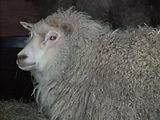 Sweetie, Shetland sheep on Wheely Wooly Farm