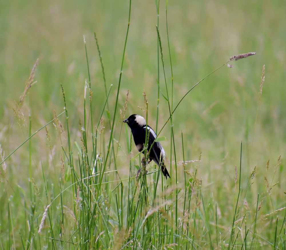 Bobolink in Wheely Wooly Farm's Pasture