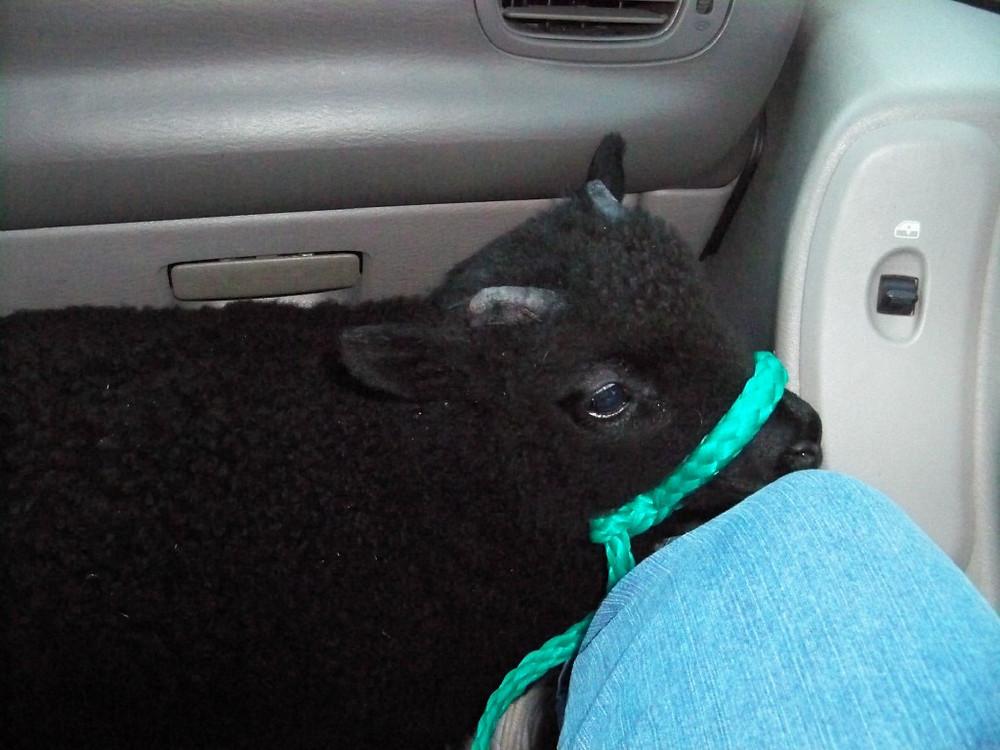 Wheely Wooly Farm Twilight Amy Hoitink
