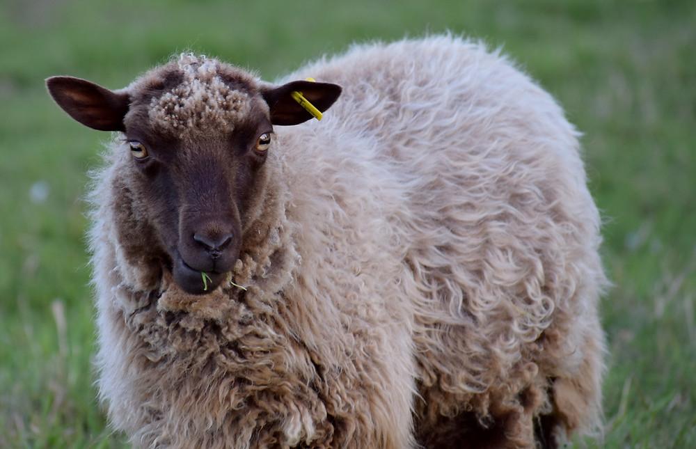 Wheely Wooly Farm's Shetland Ewe Tammie