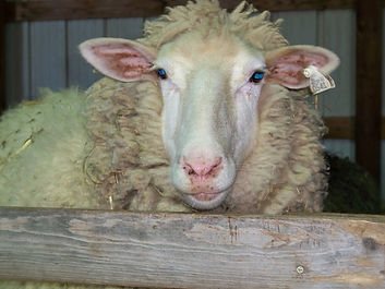 Claire, a popular Wheely Wooly Farm sheep