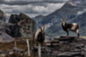 goats-4318577_960_720.jpg