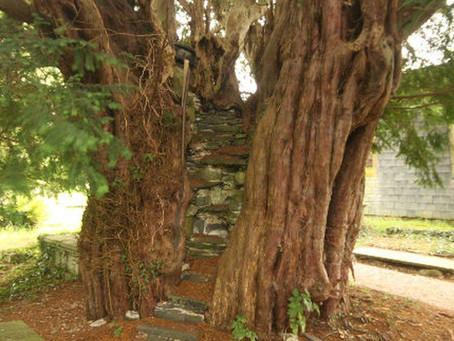 The Nantglyn Pulpit Yew, Denbighshire