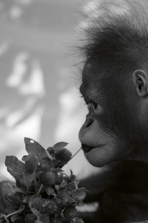 Orangutan - Black White - XL - 70x100cm