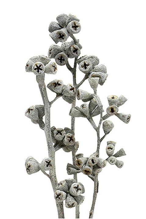 Boutons D'Eucalyptus Séchés